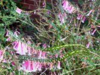 Epacris longiflora 'Nectar Pink'