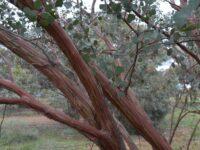 Eucalyptus websteriana - Websters Mallee