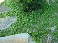 Viola hederacea - native violet