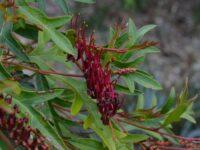 Grevillea 'Aussie Crawl'