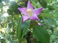Lagunaria patersonia - Norfolk Island Hibiscus