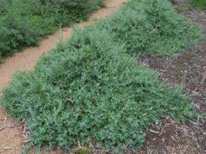 Rhagodia spinescens - Saltbush
