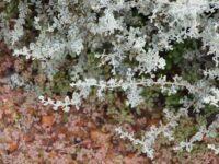 Rhagodia spinescens - spiny saltbush