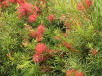 Callistemon viminalis 'Wildfire'