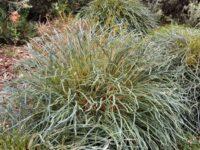 Banksia nivea - Honeypot Dryandra