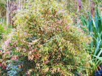 Syzygium leuhmanii 'Lulu' - lilly pilly