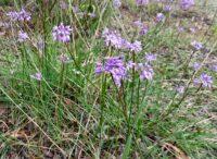 Sowerbaea juncea - Vanilla lily