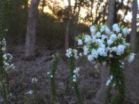 Woollsia pungens - Snow Wreath